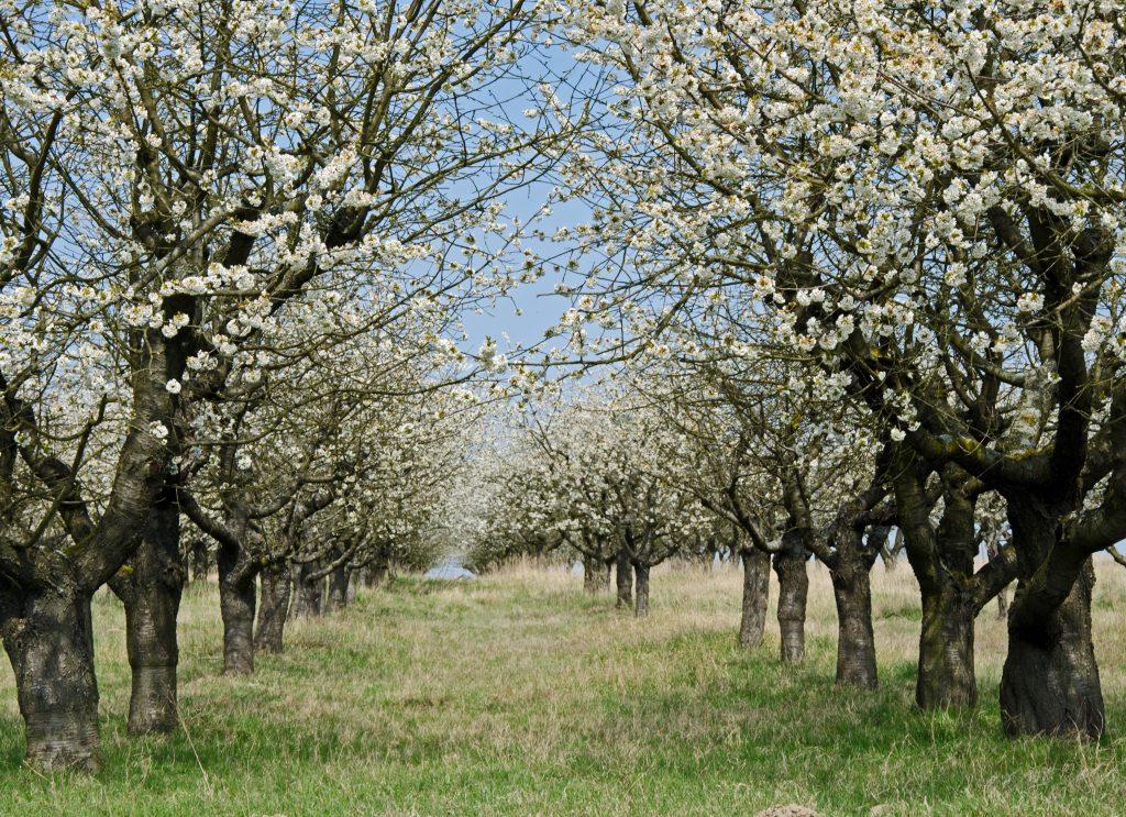 Kirschblüte Obstwiese