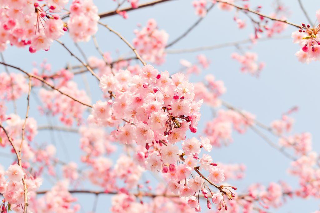 Blühender Kirschbaum Gartengestaltung Michael Rickert Baumpflege